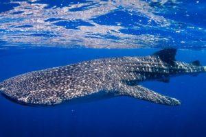 Read more about the article পৃথিবীর সবচেয়ে বড় মাছ কোনটি?