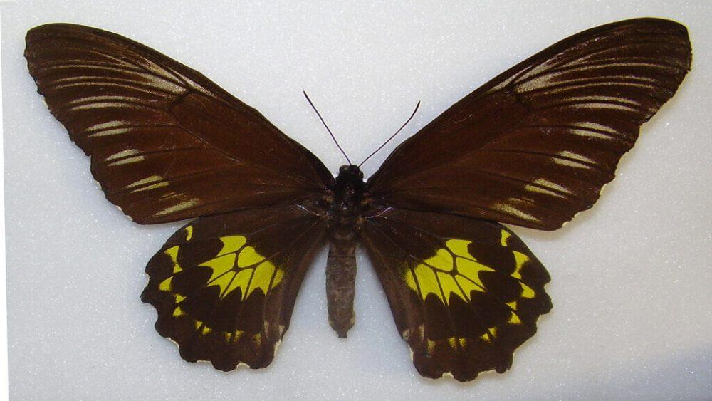 Miranda Birdwing
