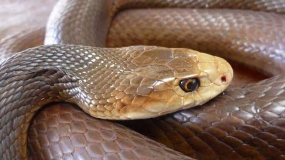 zara raca snake