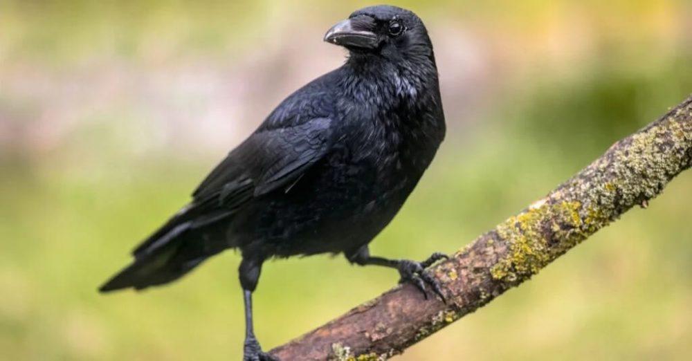 কাক crow