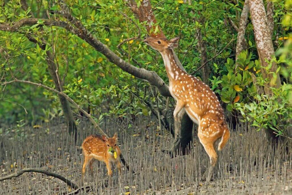 সুন্দরবন হরিন sundarban Deer