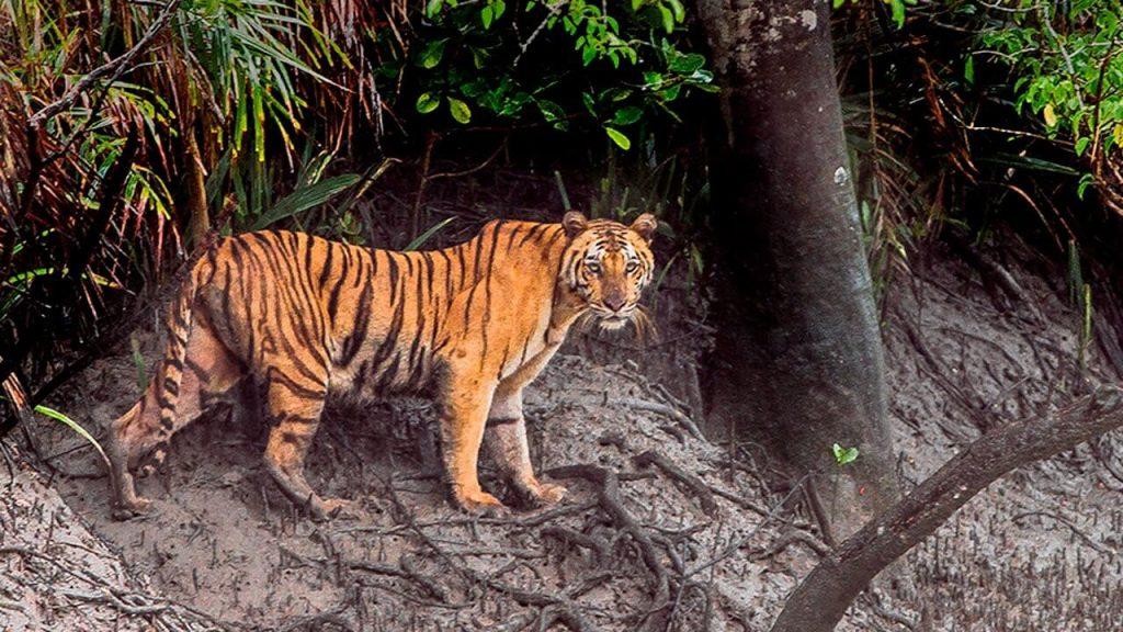 রয়েল বেঙ্গল টাইগার Royal Bengal Tiger