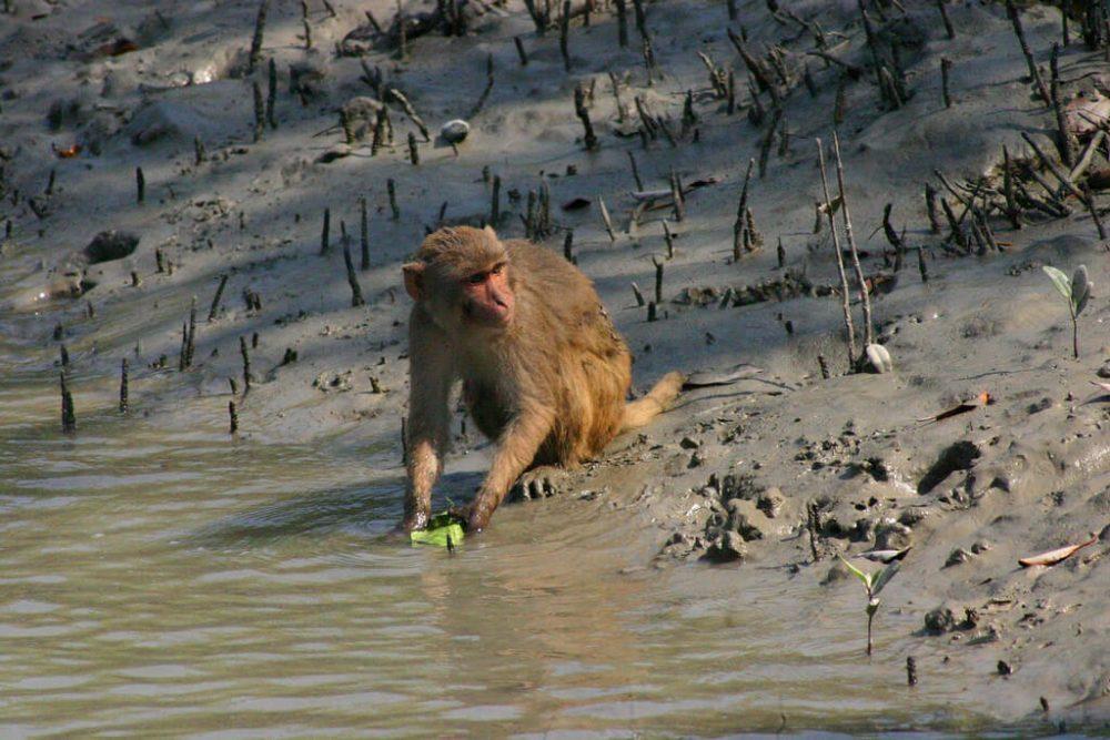 Monkey in sundarban