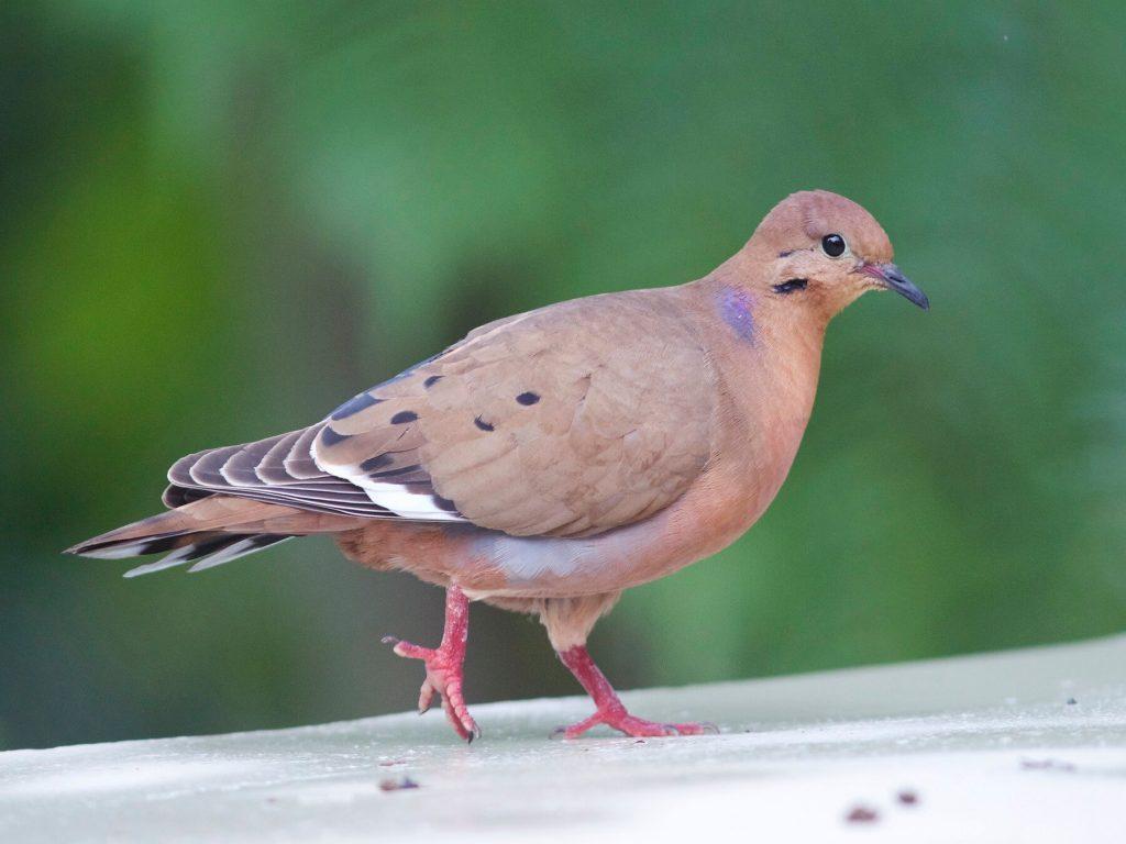 ঘুঘু Dove