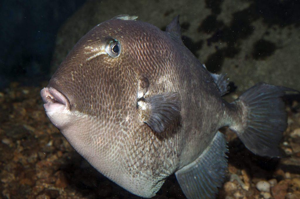 Tigger fish