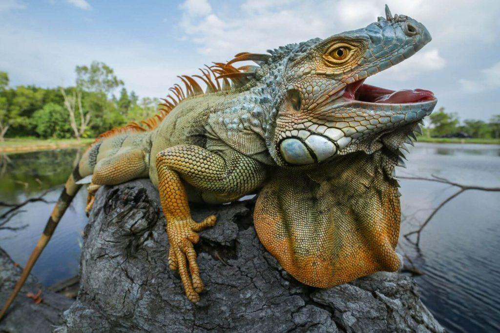 ইগুয়ানা Iguana
